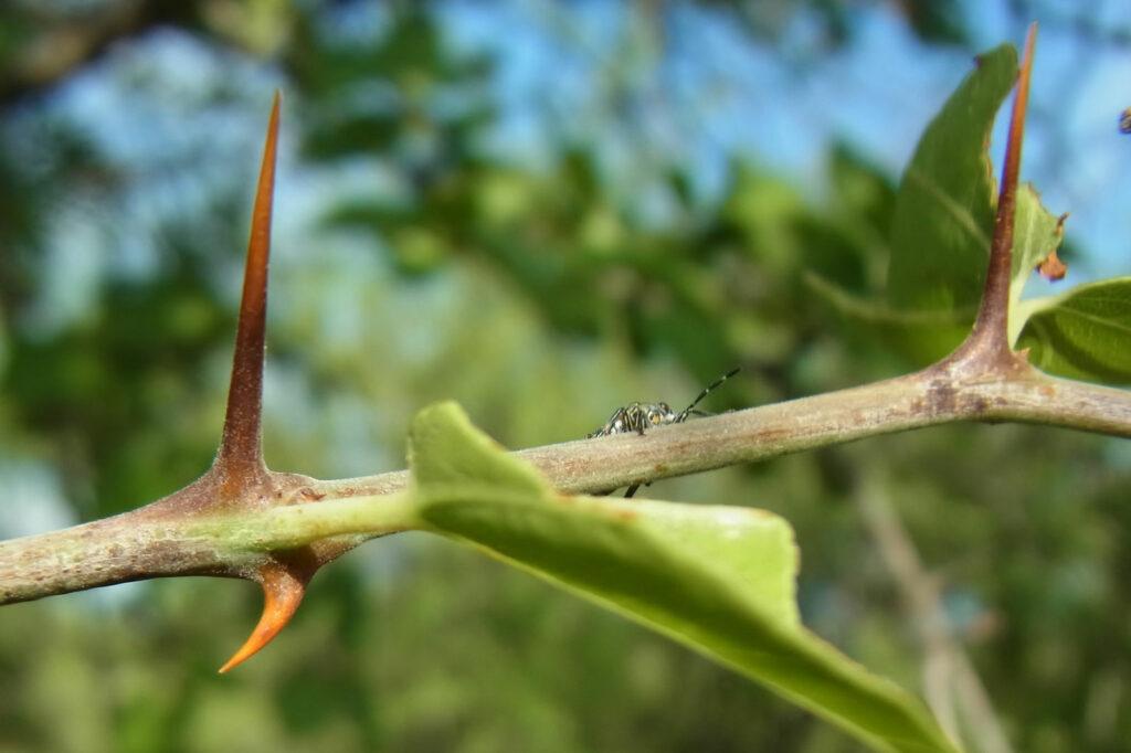 Buffalo Thorn